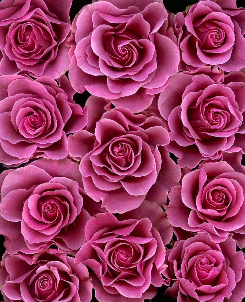 rosa rosor sedda uppifrån